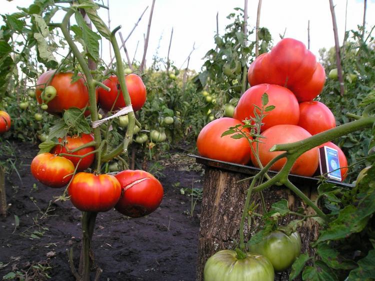урожай на плодородном грунте земле